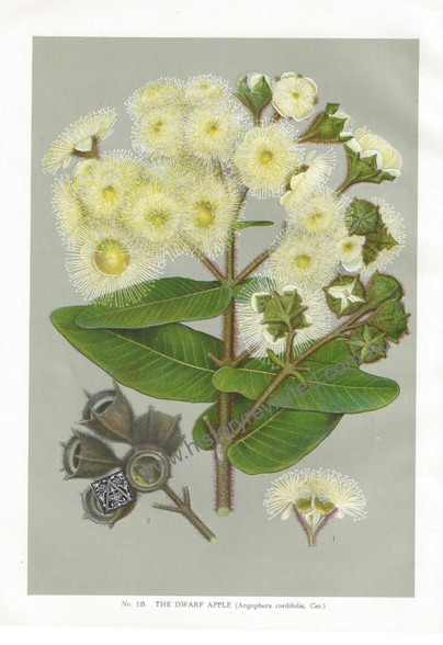 Australian Botany, New South Wales, Angophora cordifolia, Antique Print, Chromo lithograph, J.H.Maiden.