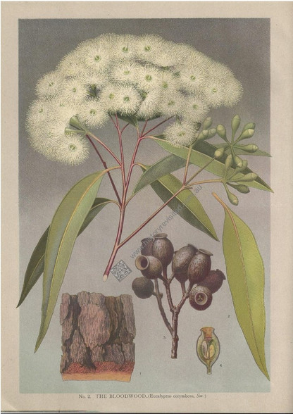 "Bloodwood (Eucalyptus corymbora), J.H. Maiden ""Flowering Plants & Ferns of New South Wales..."", 1895-98, Antique Print."