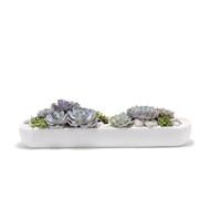 California Long Small White - Echeverria Succulents