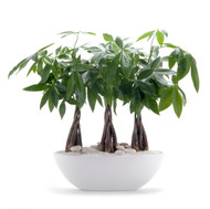 Germany Boat Large White - Triple Money Tree