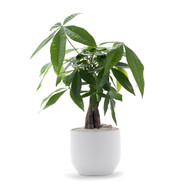 Germany Round Small White - Single Money Tree