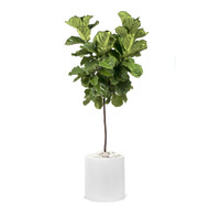 "Milano Cylinder Small White (D18"" H20"") - Ficus Lyrata Standard 14"" (H5-7')"