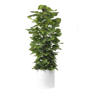 "Milano Cylinder Small White (D18"" H20"") - Jade Pothos Totem 14"" - SOLD OUT"