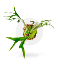 Staghorn Fern On Acrylic Disk