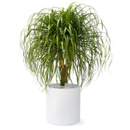 Milano Cylinder Large White Ponytail Palm