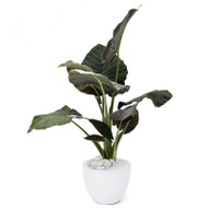 Milano Round Small White – Alocasia Regal Shields