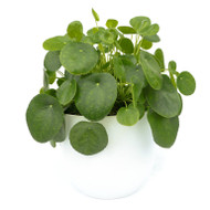 Germany Round Medium - Pilea peperomioides