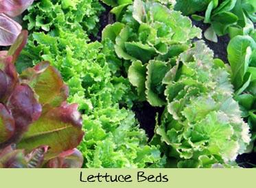 dte-lettucebed.jpg