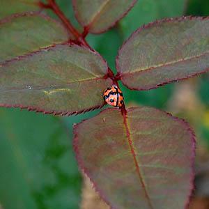 fd-ladybug.jpg