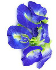 Butterfly Blue Pea