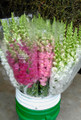 50 Snapdragons Assorted Colour