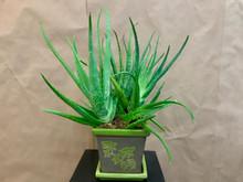 Aloe vera plant in a ceramic pot