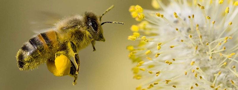 bee-carrying-pollen-web.jpg