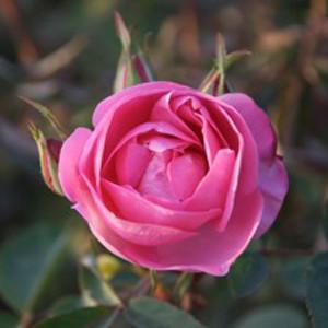 Rose Otto Pink, Organic
