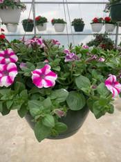 Hanging Basket - Petunia (white, pink/white, purple)