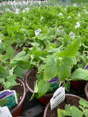 Potted Organic Herb - Catnip