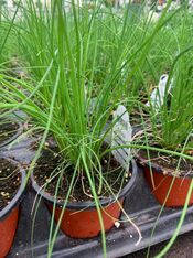 Potted Organic Herb - Chives