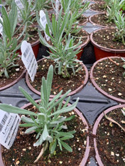 Potted Organic Herb - Lavender