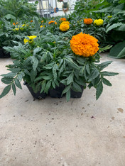 Marigold (6 pack or flat)