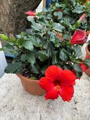 Hibiscus Medium (3-gallon)