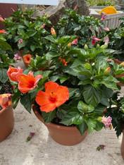 Hibiscus Large (5-gallon)