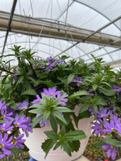 Hanging Basket - Scaevola (purple)