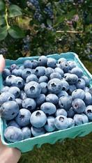 Blueberries  quart (1.5lb) New Jersey