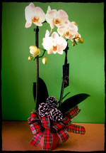 White Holiday Orchid Plant