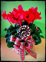 Festive Red Cyclamen Plant