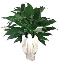 Ceramic Angel Peace Lily Plant