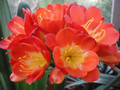 Garnet Gail Broad Leaf Red X Piet Thoroun Red Multipetal 25 4 leaf Clivia Seedling Plant