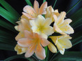3-4 leaf Colourama x Blushing Virgin Clivia Miniata seedling Plant