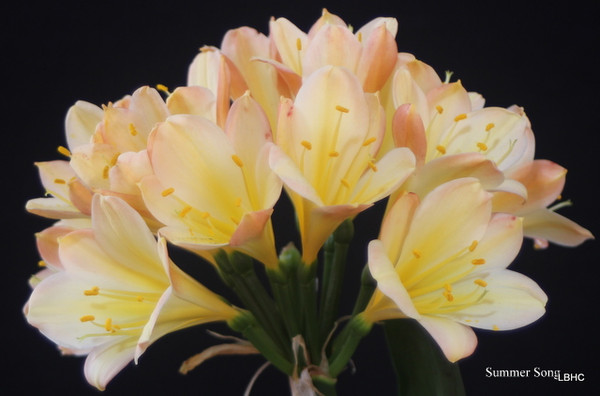 The summer song x blushed yellow chinese monk clivia seedling plant summer song mightylinksfo