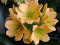 Large Kloek Mixed Green Throat Clivia Plant