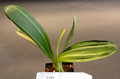 7 inch  5  Variegated Clivia Miniata Plant #1114