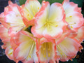 Andrew Gibson X Cai Xin Picotee Clivia Seed