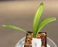 4 5/8inch tall  2+  leaf    Variegated   Clivia Plant #1134