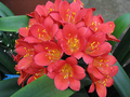 Bill Morris Super Dark Red X Bill Morris Super Red Clivia Seedling Plant