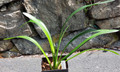 8 Leaf VN10 Red Multipetal X SS10 Star Shaped Multipetal Clivia Plant