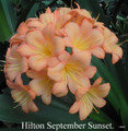 Adult Blooming Sized Offset of September Sunset Clivia Plant