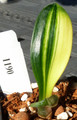 3.5  inch tall 2 leaf Duck Variegated   Clivia Plant #1190