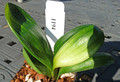 3.75  inch tall 4 leaf Light Of Buddha Duck  Variegated   Clivia Plant #1194