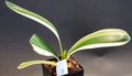 """8"""" 5 Leaf """"Almost a Duck""""   Variegated Clivia Plant #1254"""
