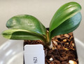 "4 Leaf 3.5"" Tall Variegated HenglanxSparrow  Miniature Clivia Plant #1256"