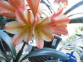 (Andrew Gibson X 777) X (Bing Weise Pastel X White Lips) Clivia Seed