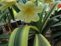 Group 1 Variegated Yellow X Nakamura Line Bred Variegated Yellow  Clivia Seed