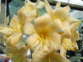 Giant Flower Breeding! Bill Morris Best Yellow (Gold Medal Winner) X (Vico Yellow X Chubb Caramel Peach) Clivia Seed