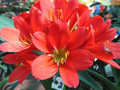 RED 1 X ( Eugene X Boston Bronze) Reds! Clivia Seed