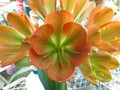 Copper Cup Line Breeding X Self  Clivia Seed