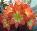Perfect Star 100% Multipetal X 100% MP Bronze GT.  Clivia Seed